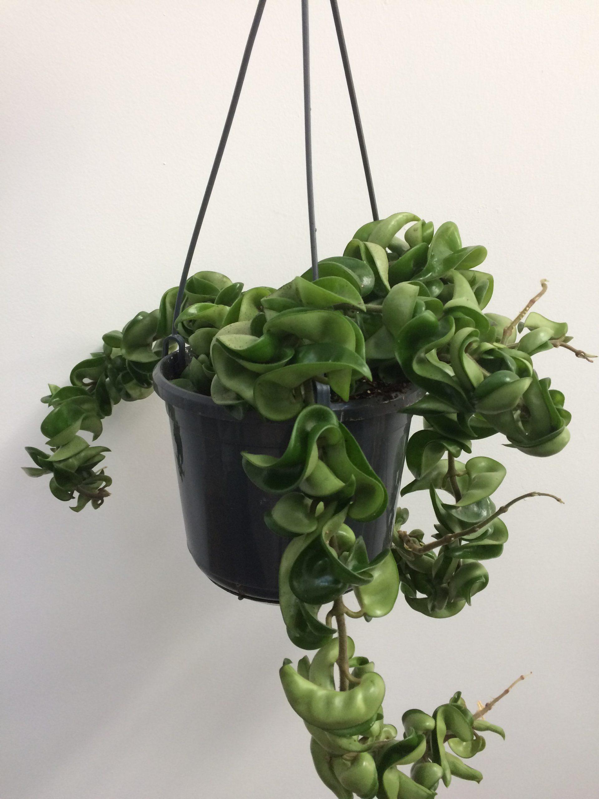 Hindu Rope Hoya Plant